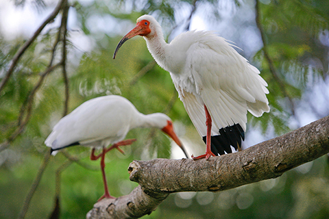 Two Ibises perched in a tree at the University of Miami Coral Gables Campus.